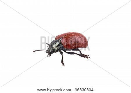 Red Black Bug On A White Background
