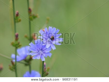 Cichorium intybus, Is one of the most widely seen summer time wild flowers in Michigan