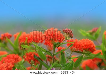 Asclepias wild flowers widely seen in Michigan during Summer time.