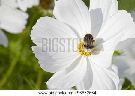 Big bumblebee in a white flower