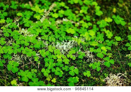 Close-up Of Moss And Clovers
