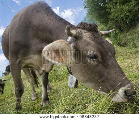 Italian Cow