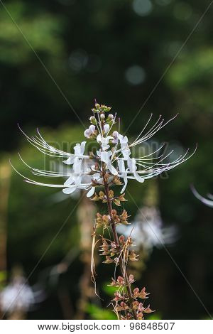 Cat's whiskers flowers