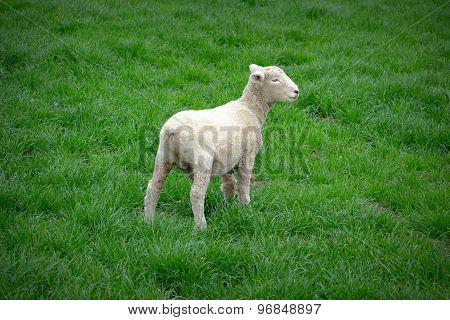 Little Lamb On The Grass