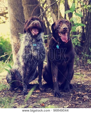 a wirehaired pointer griffon and a chocolate labrador retriever out in nature looking at a ball to be thrown toned with a retro vintage instagram filter app or action effect