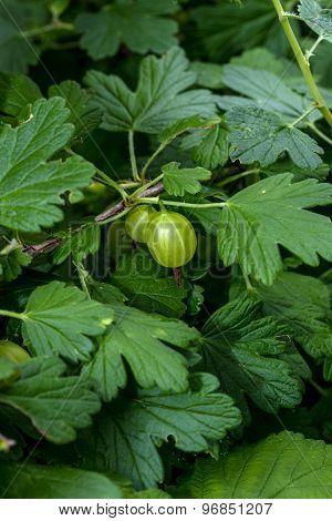 Berries Of Gooseberries