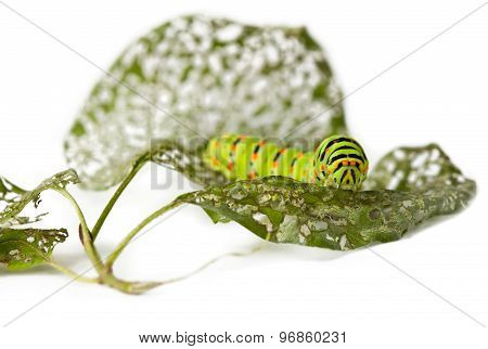 Caterpillar And Chewed Leaves