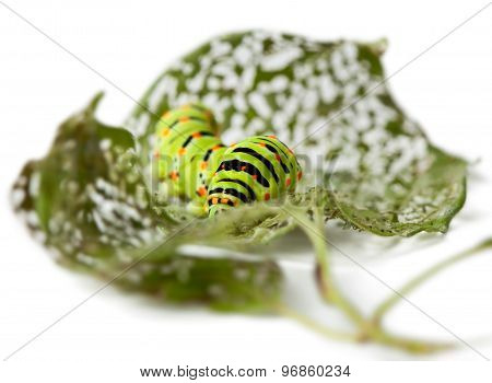 Caterpillar On Perforated Leaves
