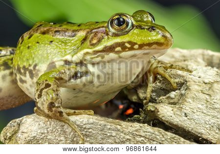 Frog And Tree Branch