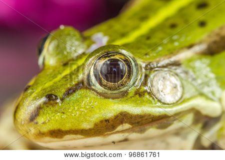 Frog Macro