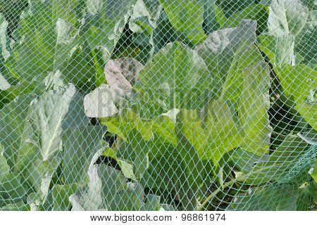 Cabbage Under A Protective Net.