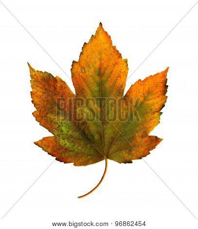 Bright Orange Maple Leaf On White Background