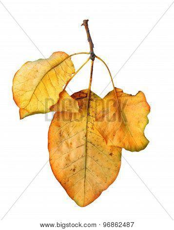 Bright Orange Quince Leaf On White Background