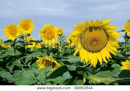Yellow Sunflowers On The Field
