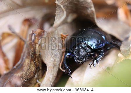 Dung Beetle Between Brown Leaves