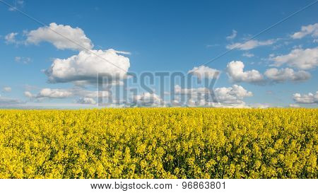 Rape Fields In Country Under Blue Sky With White Clouds