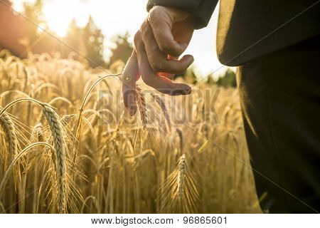 Businessman Walking Through A Golden Wheat Field Reaching Down With His Hand Touching An Ear Of Ripe