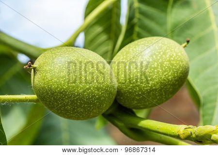 Two Unripe Green Walnuts, Macro