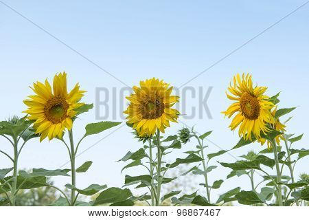 Sunflowers trio