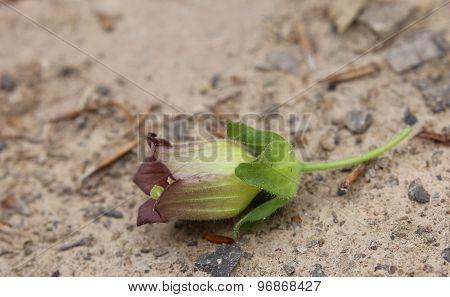 Belladonna Blossom