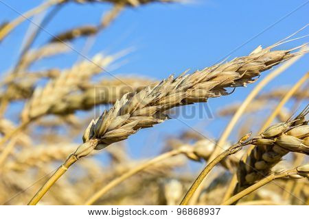 Ripe Ears Of Wheat In A Field, Macro