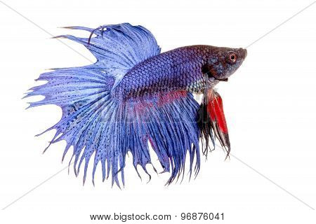 Beautiful Siamese Fighting Fish  In Isolated On White