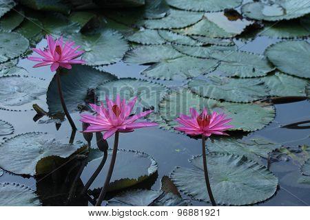 Pink Lotus in Thailand
