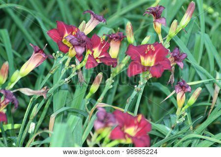 Lilies (Ruby Red)