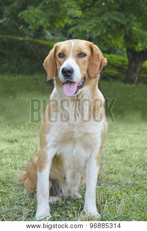 Yellow Cute Mixed Breed Dog Portrait In The Grass