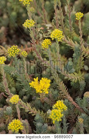Flowering Reflexed Stonecrop