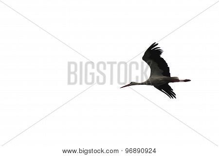 beautiful flying stork isolated on white background close-up