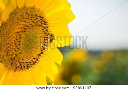 Sunflower with a bee closeup.