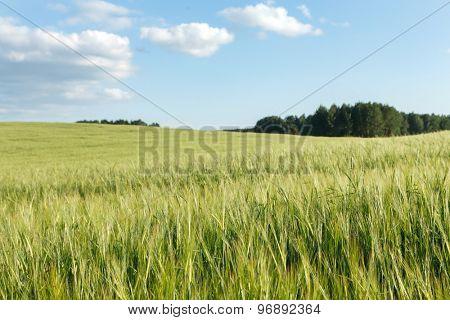 Green wheat on a field