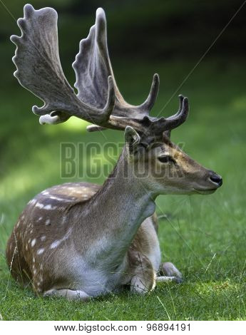 Fallow Deer With Big Antler