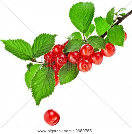 Felted Prunus tomentosa cherry ripe fruit on the branch  isolated on white background