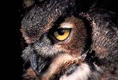 picture of winnebago  - Piercing gaze of the Great Horned Owl  - JPG