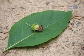 image of belladonna  - Blossom and leaf of the deadly nightshade  - JPG