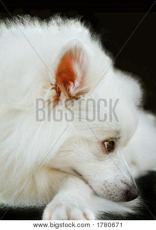 Japanese Spitz. Cute Dog, Pet, Animal
