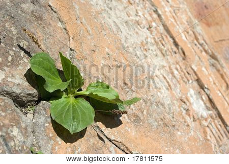 Plantain Plant In Wall