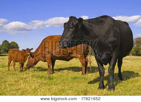 Family group of cows with juvenile in field