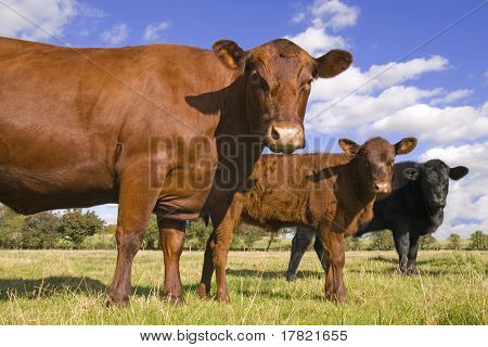 Three cows in a line facing camera