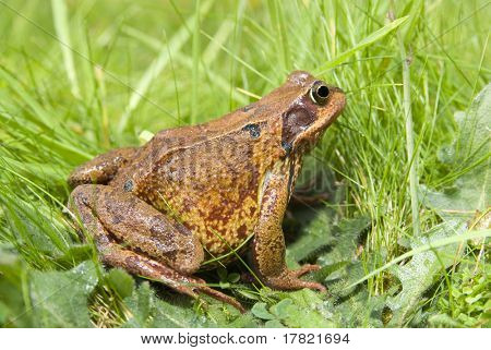 A common British frog (Ranidae Rana) nestled in long grass