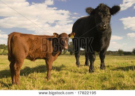 zwei neugierige juvenile Kühe in einem Feld Frühling