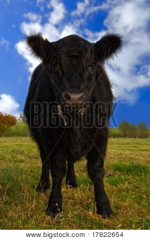 Juvenile Aberdeen Angus cow in rural setting