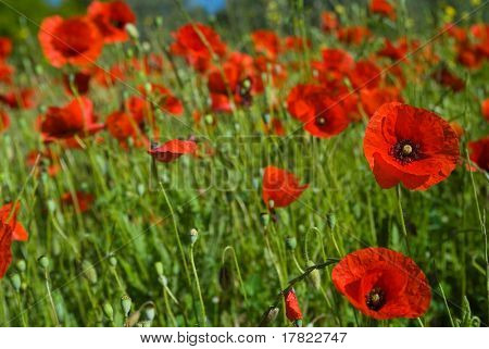 Wild bright red poppies growing in the Poco Barreto region, Portugal (Algarve)