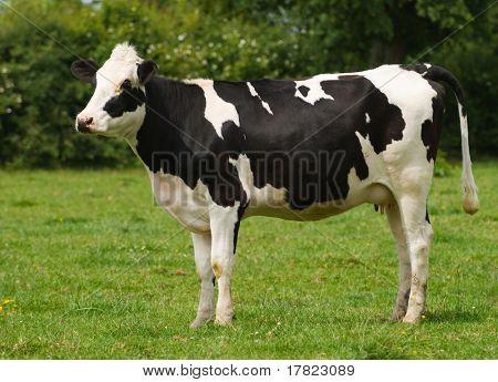 Vaca frisona de jóvenes en un campo verde