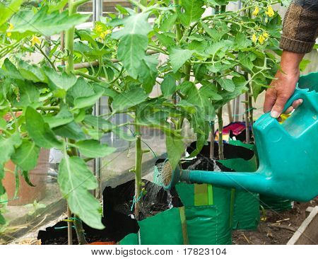 Gardener watering his tomato plants in greenhouse
