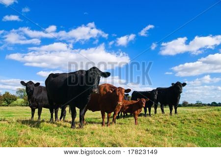 Group of young cows in a summer field