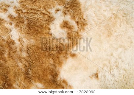 Texture of a cow hide in white and tan