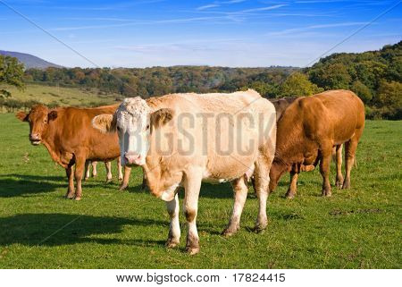 Group of dairy cows in farmland